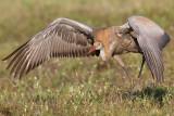 sandhill crane colt 114