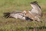 sandhill crane colt 115