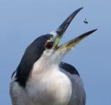 black-crowned night heron 257