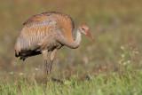 sandhill crane colt 116