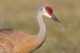 sandhill crane 262