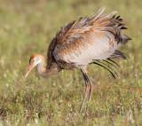 sandhill crane colt 117