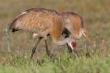 sandhill crane 263