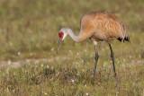 sandhill crane 264