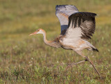sandhill crane colt 120