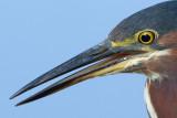 green heron 95
