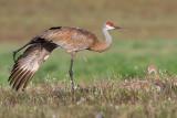 sandhill crane 266