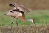 sandhill crane 267