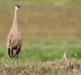 sandhill crane 268