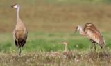 sandhill crane 269