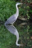 great blue heron 346