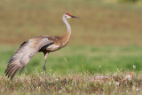 sandhill crane 280