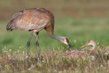 sandhill crane 281