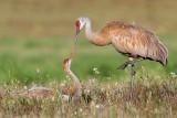 sandhill crane 282