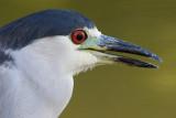 black-crowned night heron 261