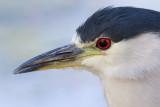 black-crowned night heron 262