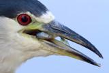 black-crowned night heron 263