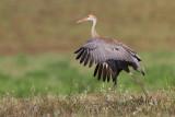 sandhill crane colt 121