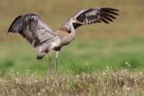 sandhill crane colt 124