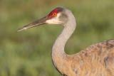 sandhill crane 287