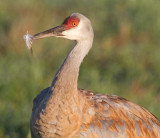 sandhill crane 288