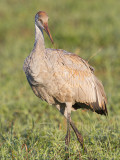 sandhill crane colt 126
