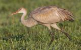 sandhill crane colt 127