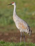 sandhill crane 289