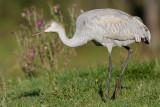 sandhill crane colt 128