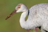 sandhill crane colt 129