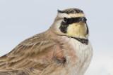horned lark 81