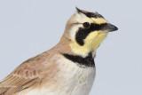 horned lark 82