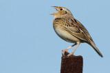 grasshopper sparrow 92