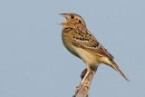 grasshopper sparrow 94
