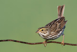 savannah sparrow 81