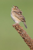 grasshopper sparrow 95