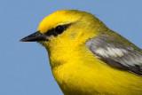 blue-winged warbler 10