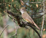 great grested flycatcher 9