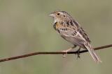 grasshopper sparrow 96