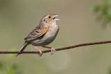 grasshopper sparrow 97