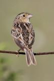 grasshopper sparrow 98