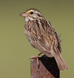 savannah sparrow 80