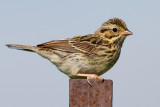 savannah sparrow juvenile 11