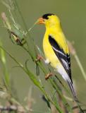 goldfinch 76