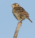 grasshopper sparrow 101