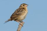 grasshopper sparrow 102