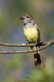 great crested flycatcher 10