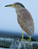 immature black-crowned night heron 394