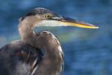 great blue heron 351