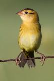 juvenile bobolink 46
